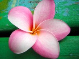 Plumeria 1 by allisonosilla