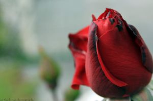 Paint the Roses Red by a13lackrose