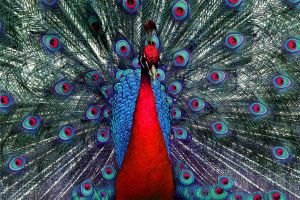 Peacock Tweaked 01 by TruemarkPhotography