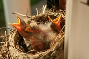 Baby Robins in nest by kwpatrick