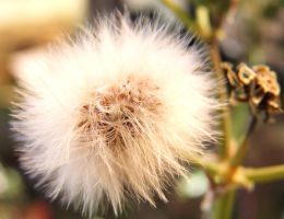 Macro dandelion by lucyparryphotography