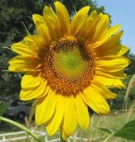 Sunflower by doilydeas