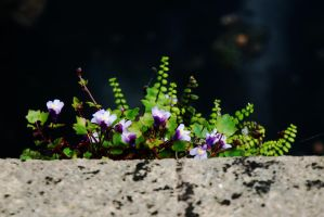 Ivy-Leaved Toadflax by EarthHart