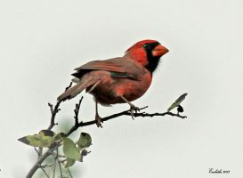 Cardinal by embethe