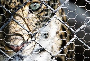 Caged Leopard by deliquescing
