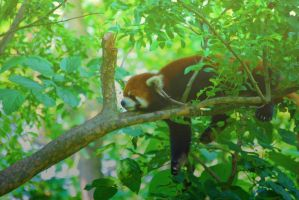 Red Panda Sunshine by Norble