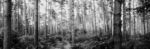 The Forrest. Panoramic. by charrlahh