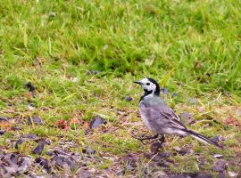 White Wagtail by ragnaice