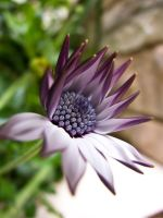 African daisy by Pepkosh