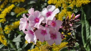 PHLOX by BELLESYMPHORINE
