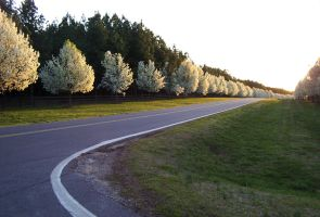 Pear Trees by datonel