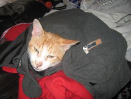 Thundershirt cat by DigiPhotography