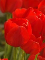 Red tulips...again by blueionis