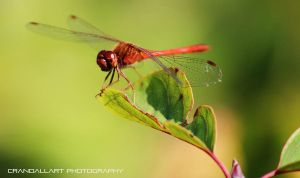 Red Dragonfly by digitalartaficianado