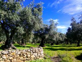 Olive trees by ferdicamacho
