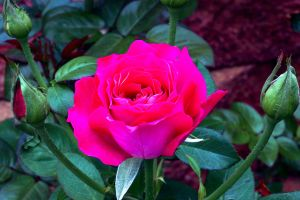 'Baronne de Rothschild' rose by chezem