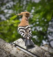 hoopoe by FeeAurora