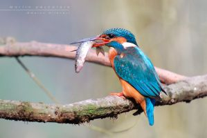 Kingfisher by Mantide