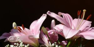 Pink Lillies by tartanink