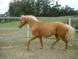 Palomino Quarter Horse 5 by CassStock