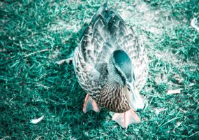 Danish Duck 3 by manicstreetpreacher
