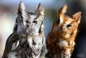 Screech Owls by lost-nomad07