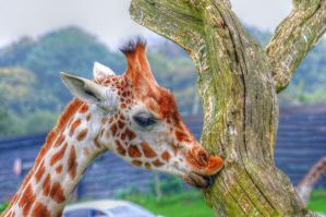 Young Giraffe HDR by teslaextreme
