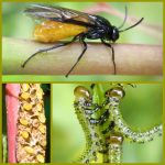 Sawfly Life Cycle by iriscup