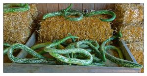 Snake gourds.L1030708, with story by harrietsfriend