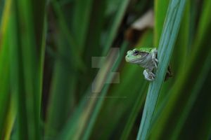 Green Tree Frog by RAIN2RIVER66