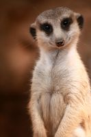 Meerkat by Locopelli