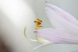 Hosta Flowers by WickedOwl514