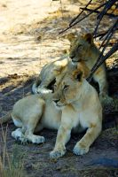 2 Lions Brothers in the Shade by CunisiaInc