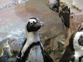 African Penguin Stock 2788 by sUpErWoLf--StOcK