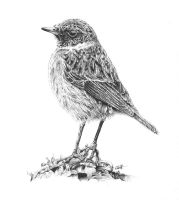 Stonechat by Char10tte