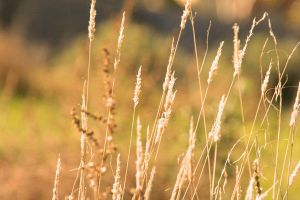 wheat by Preod