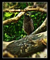 Crested Serpent Eagle updated. by jennystokes