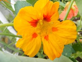 pretty yellow flower by BlueIvyViolet
