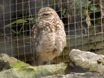 Burrowing Owl by Skrillexia-TF