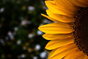 Sunflower II by Tripeak