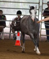STOCK - 2014 Welsh QLD Show-31 by fillyrox