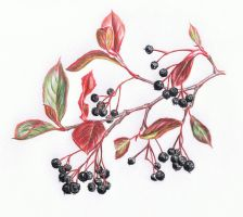 Shriveled Serviceberries by erin-c-1978