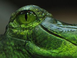 Gavial 02 The Eye by animalphotos
