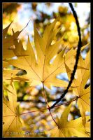 Maple Leaves by AlexCphoto