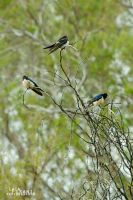Perched Swallows by Maltese-Naturalist