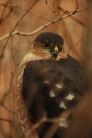 Coopers Hawk Black Friday 012A by Digipics60