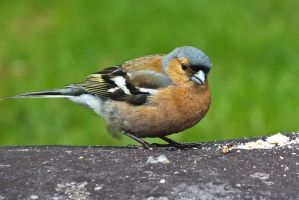 Male Chaffinch by CharmingPhotography