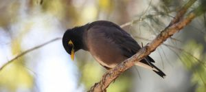 Common Myna 3360 by DPasschier