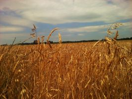 Field of Gold by syd95