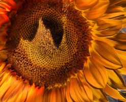 Sunflower by DonaElfinha